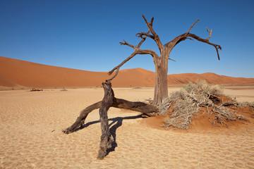 dry acacias