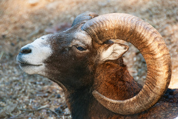 Wild sheep mouflon head close up male