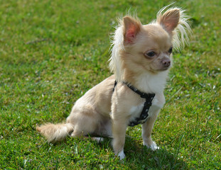 Chihuahua sitting on the grass