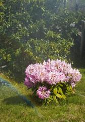 il rododendro con l'arcobaleno