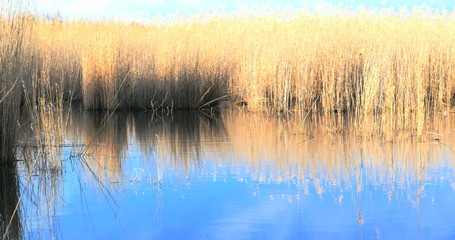 Waving reed along a lake in spring, 4k