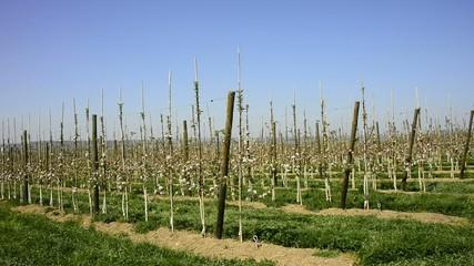 Blühende Obstplantage
