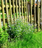 myosotis devant barrièère en bois