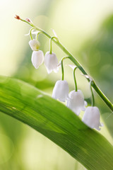 White flowers of a forest lily of the valley
