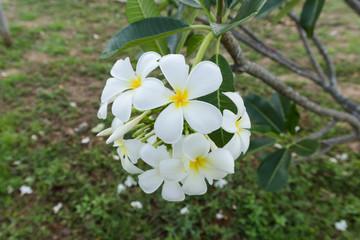 white lelawadee flower