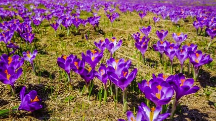 Crocuses on a spring meadow