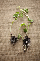 Herbs with roots on burlap