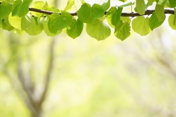 新緑の桂の葉