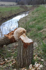 Biber zernagt Baum an Bach