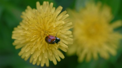 Small ladybird on the dandelion flowers over leaves background