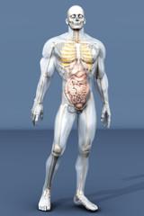 Menschliche Anatomie - Verdauungstrakt