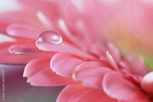 Foto op Plexiglas Gerbera Flower with water drop. Soft focus. Made with macro-lens.