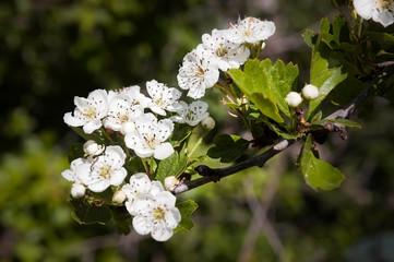Hawthorn Flowers, Crataegus Monogyna