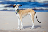 saluki puppy standing on the beach