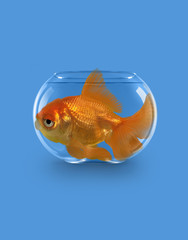 Goldfish swimming in tiny bowl