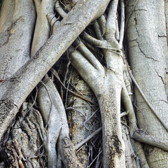 Closeup of banyan tree trunk roots with carvings
