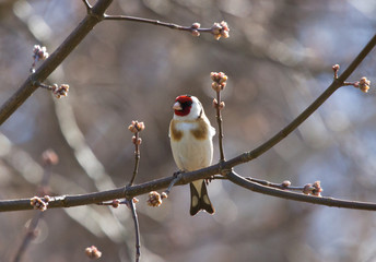 European Goldfinch on the branch