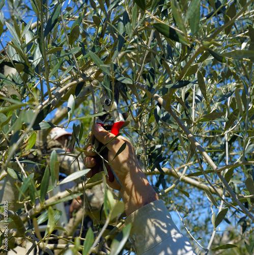Keuken foto achterwand Olijfboom Pruning olive tree of apulia. against Xylella