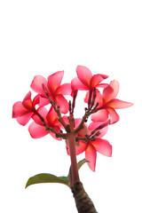 Detail of Cherry Blossom in Garden - Stock Image