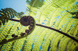 Unravelling fern frond closeup, one of New Zealand symbols. - 82192516