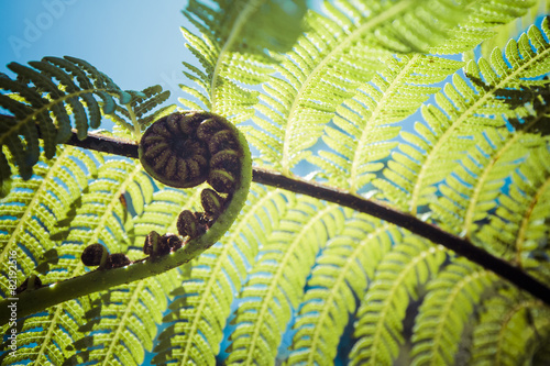 Foto op Canvas Nieuw Zeeland Unravelling fern frond closeup, one of New Zealand symbols.