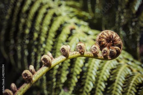 In de dag Nieuw Zeeland Unravelling fern frond closeup, one of New Zealand symbols.