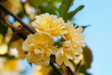 Bush of yellow climbing roses with blue sky background.