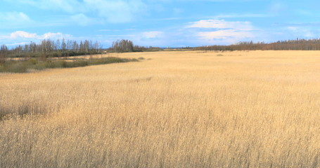 Common reed (Phragmites), early spring background, 4k