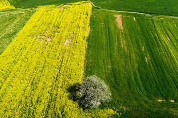 aerial view rural landscape with blooming rape at the north Gree
