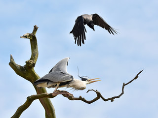 Hooded Crow attacking a Grey Heron in a tree