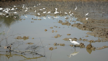 Pelicans swamps are dry, many are walking in search of food