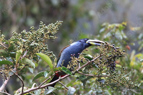 Foto op Canvas Toekan Grey-breasted Mountain Toucan (Andigena hypoglauca) in Ecuador
