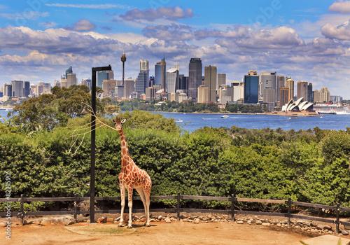canvas print picture Sydney City Whole Giraffe