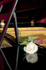 White rose and its reflection in the lacquered woodwork of a grand piano