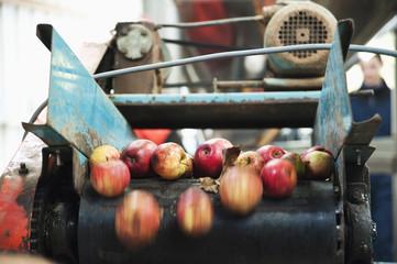 Apples being processed on conveyor belt