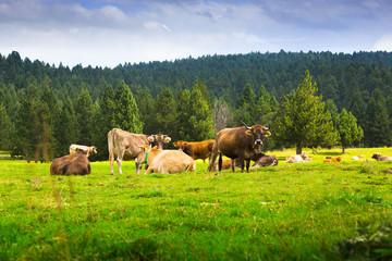 Few cows in  meadow