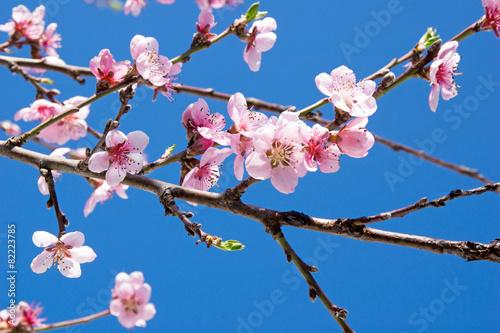 Fotobehang Kersen Kirschblüten an einem Kirschbaum