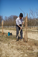 Senior farmer planting a plum tree