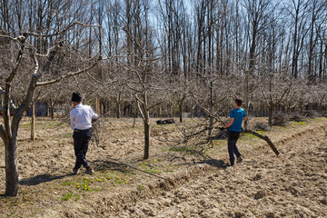 Family cleaning cut branches from orchard