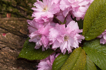 cherry blossoms with raindrops