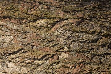 Corteccia di albero - particolare