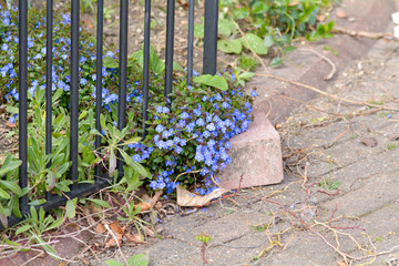 Forget-me-Not flowers next to gate in driveway to house