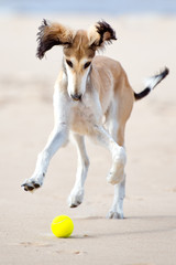 saluki puppy playing with a tennis ball