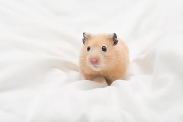 Golden Hamster on Bed Sheets