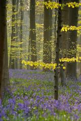 Morning light shines through hallerbos Belgium, blue forrest.