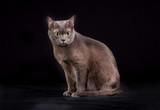 Purebred Korat cat