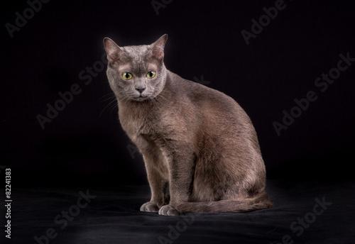 Purebred Korat cat - 82241383