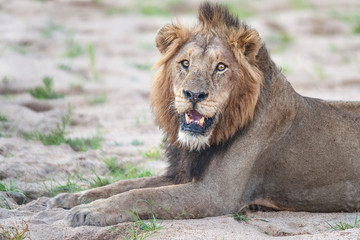 Junger Löwe am frühen Morgen