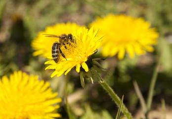 Bee working on yellow dandelion