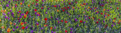 Panoramic view of a field of tulips